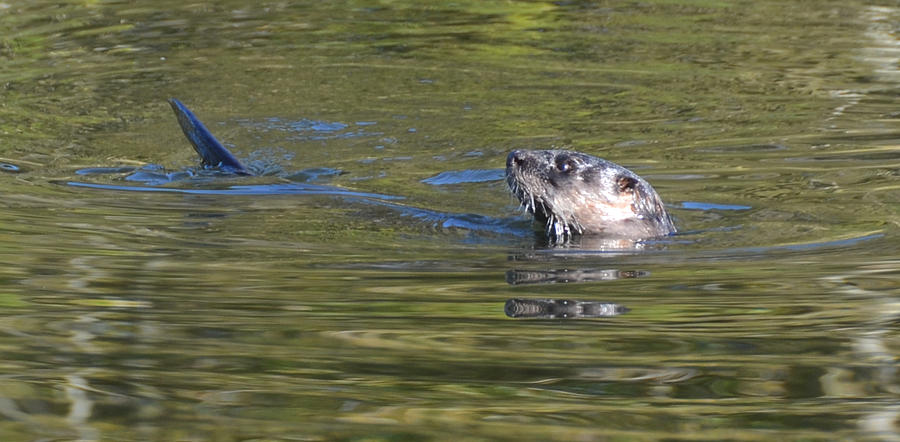Otter Photograph - River Otter by Julie Cameron