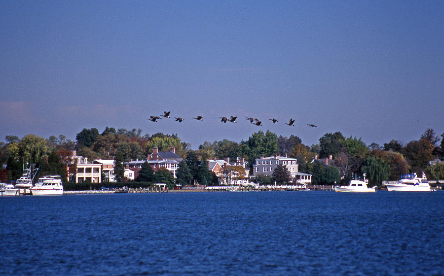 Chestertown Photograph - Riverfront Geese by Skip Willits