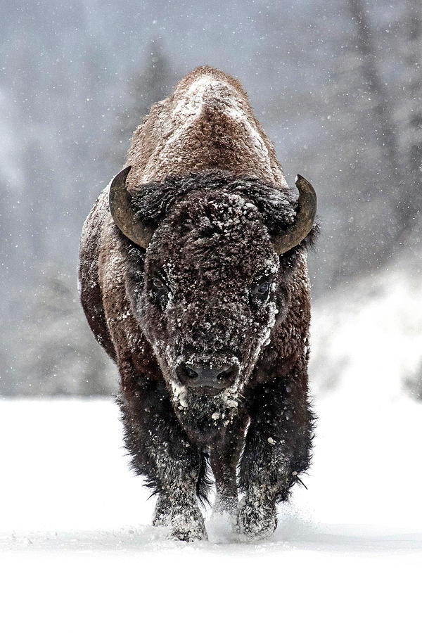 Bison Bison Photograph - Road Warrior by Sandy Sisti