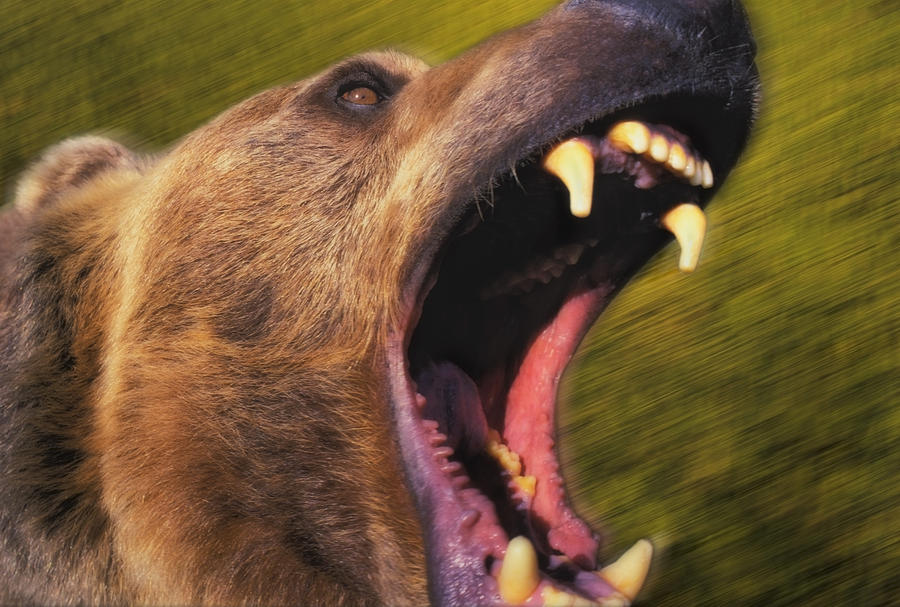 roaring grizzly bears face rocky photograph by thomas kitchin