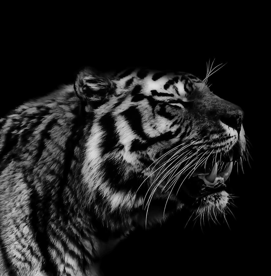 Roaring Tiger Photograph