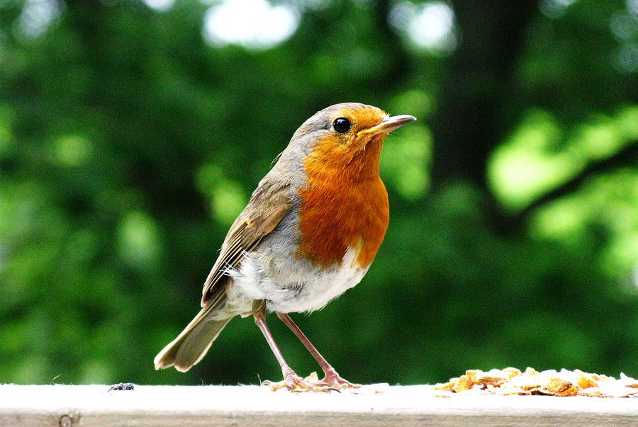 robin bird food