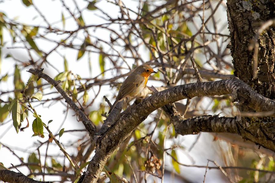 Robin Photograph - Robin by Goyo Ambrosio