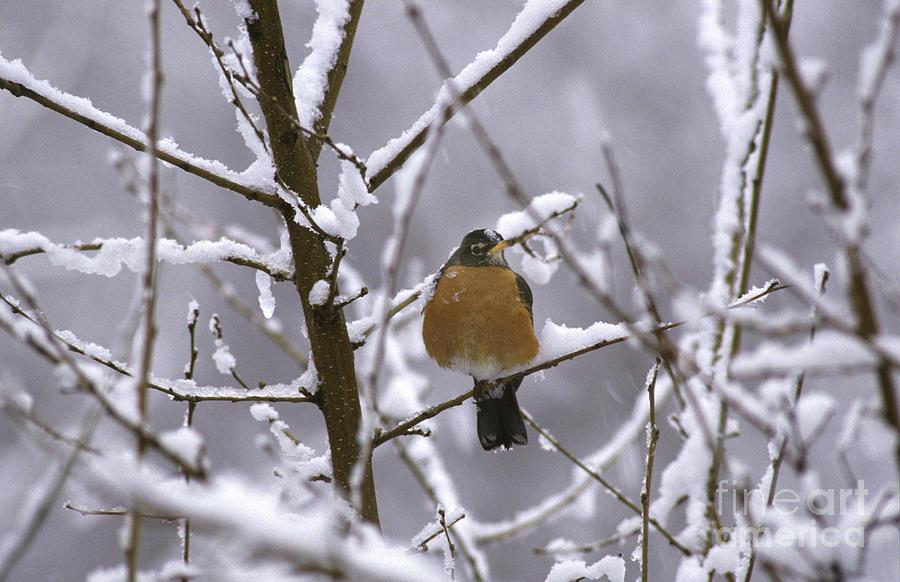 American Robin Photograph - Robin In Snow by Novastock
