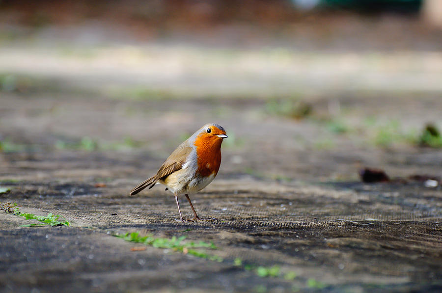 Robin Photograph - Robin by Ivelin Donchev