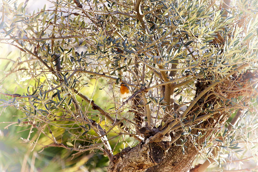 Robin Photograph - Robin perched on olive tree by Goyo Ambrosio