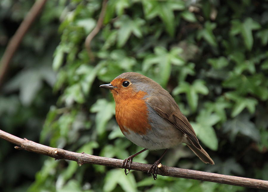 Robin Photograph by Peter Skelton