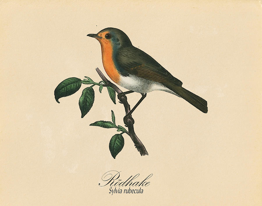 Robin Redbreast Drawing By Pati Photography