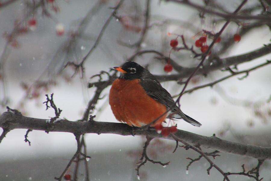 Winter Photograph - Robin Winter by Alicia Knust