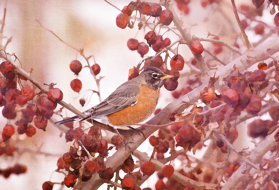 Robin Photograph - Robin With Red Berries by Daphne Sampson