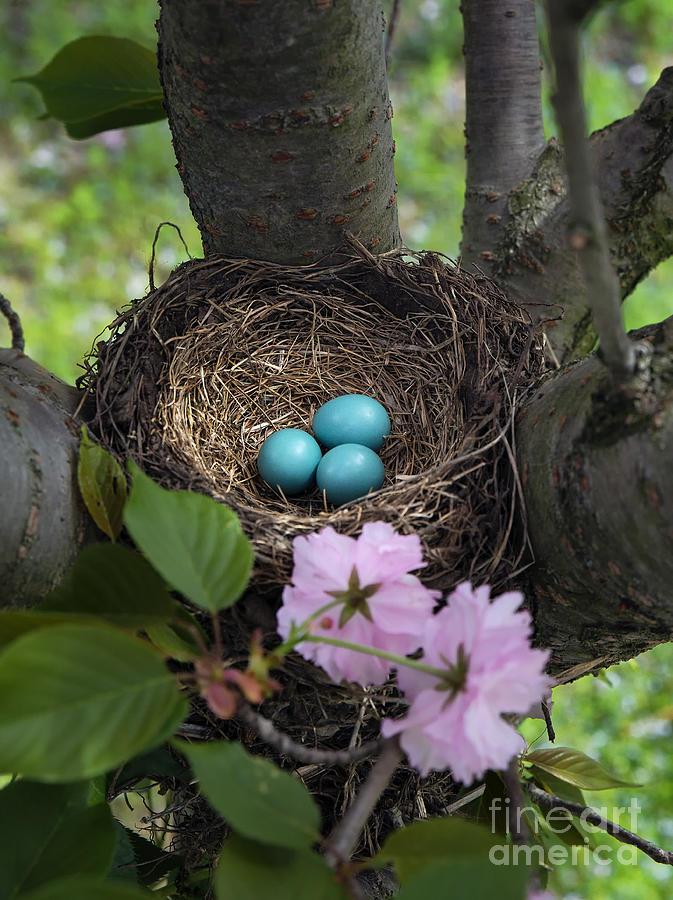 Birds Photograph - Robins Nest by John Greim