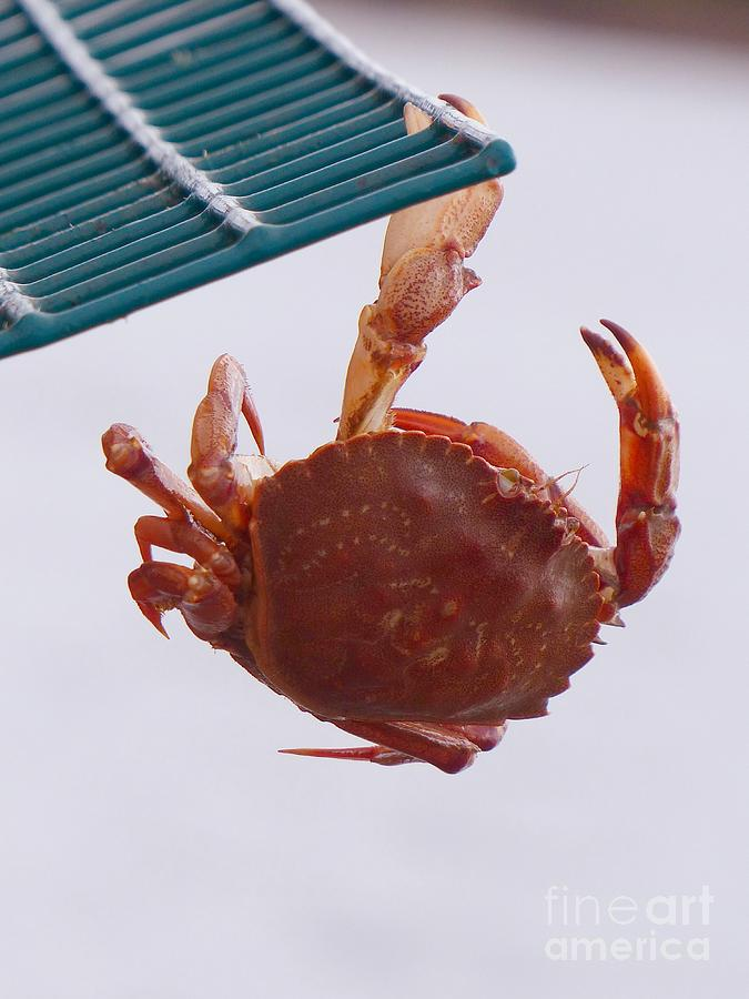 Rock Crab Photograph - Rock Crab On A Lobster Pot by Christine Stack