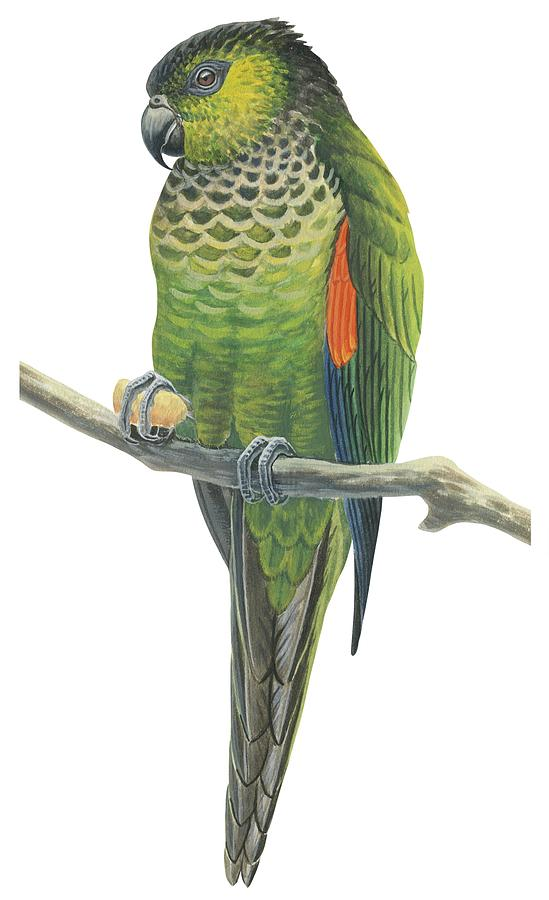 Bird Drawing - Rock Parakeet by Anonymous