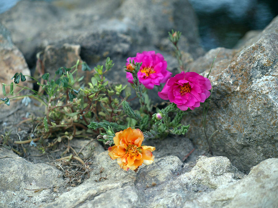 Orange Flower Photograph - Rock Rose by Corina Bishop