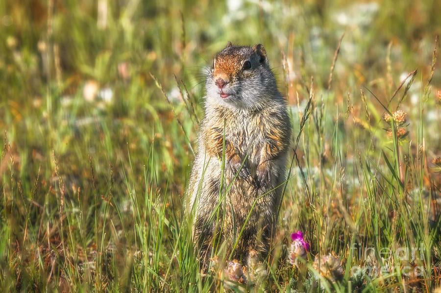 Rock Squirrel Photograph