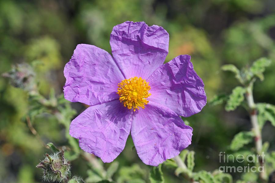 Rockrose Flower Photograph by George Atsametakis
