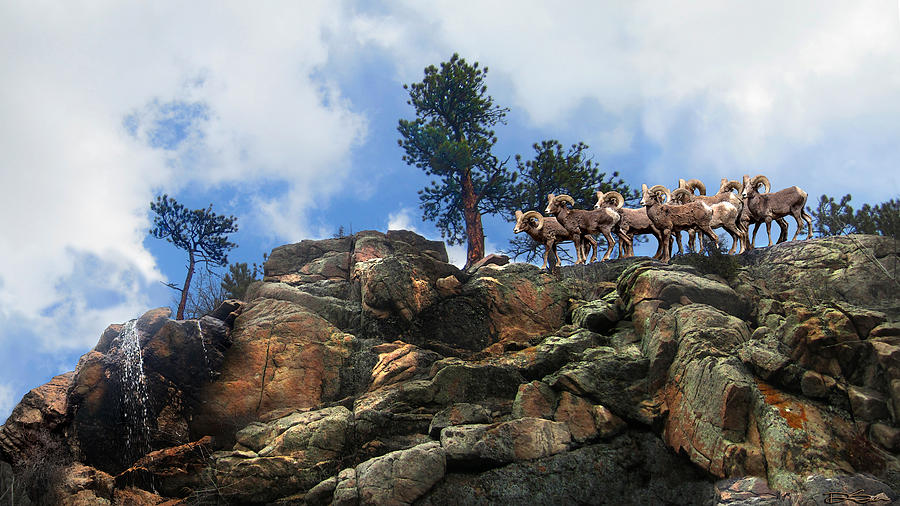 Big Horn Photograph - Rocky Mountain Big Horn Herd by Ric Soulen