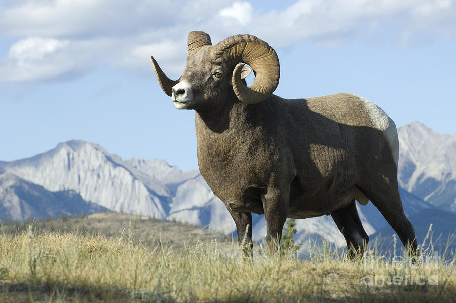 Big Horn Sheep Photograph - Rocky Mountain Big Horn Sheep by Bob Christopher