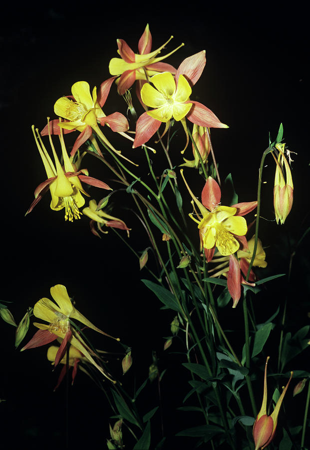 Aquilegia Caerulea Photograph - Rocky Mountain Columbine Flowers by Brian Gadsby/science Photo Library