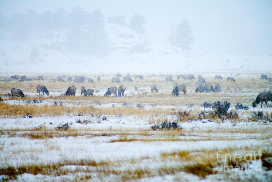 Rocky Mountain Elk Herd Photograph