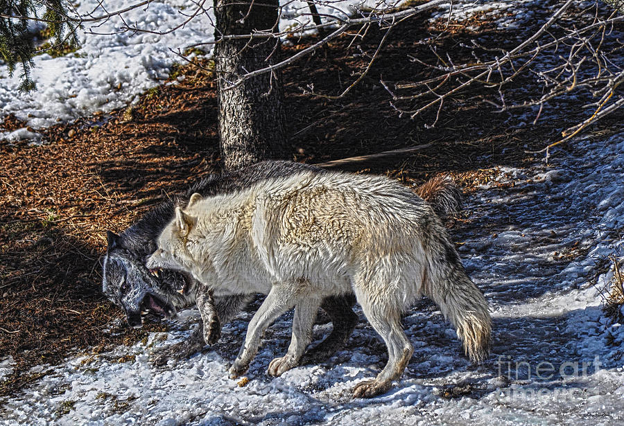 Wolf Photograph - Rocky Mountain Encounter by Skye Ryan-Evans