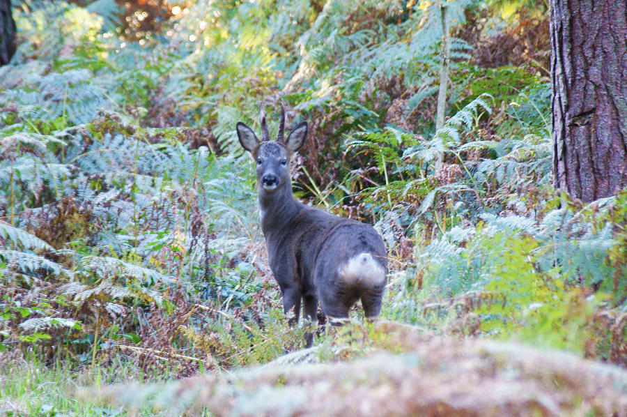 Roe Photograph - Roe Buck In Woodland by Andy Beattie Photography