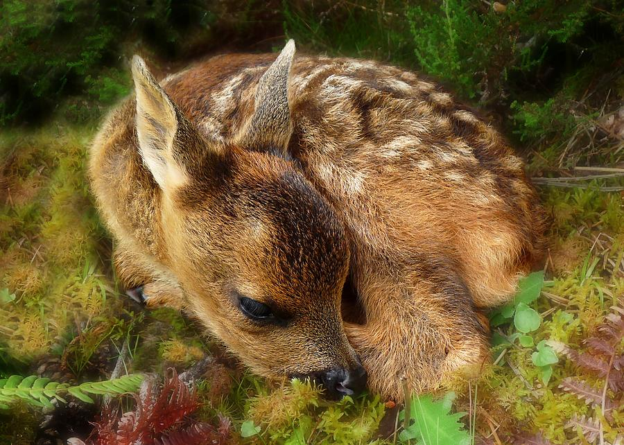 Roe Deer Fawn Photograph - Roe Deer Fawn by Gavin Macrae