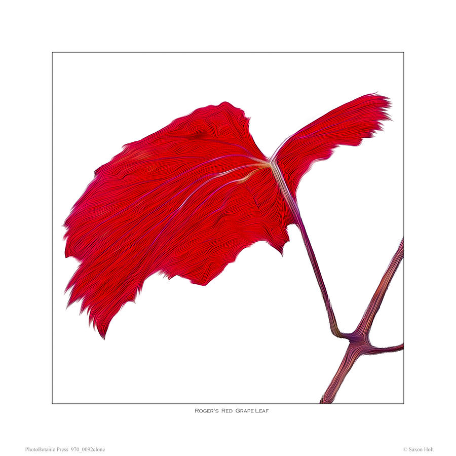 Leaves Photograph - Rogers Red Grape Leaf by Saxon Holt