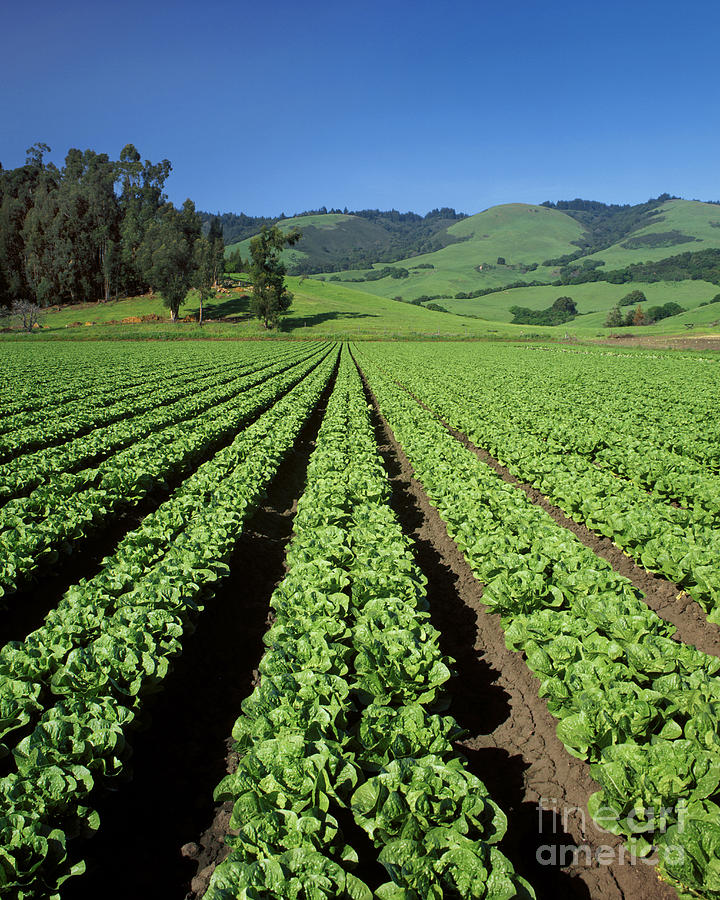 Greens Photograph - Romaine Lettuce Field by Craig Lovell