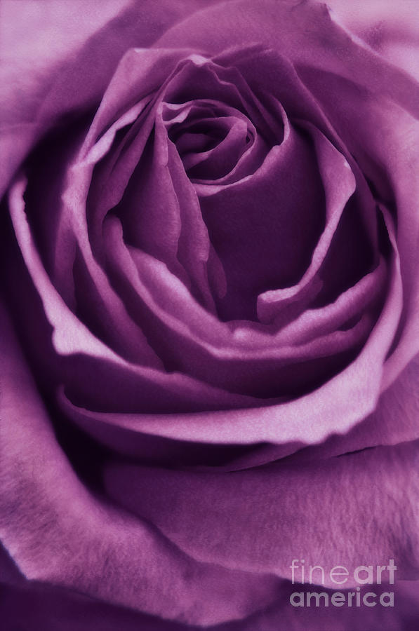 Rose Photograph - Romance IIi by Angela Doelling AD DESIGN Photo and PhotoArt