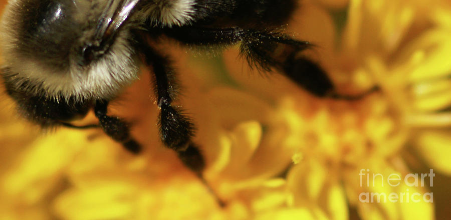 Bumble-bee Photograph - Romancing Yellow by Linda Shafer