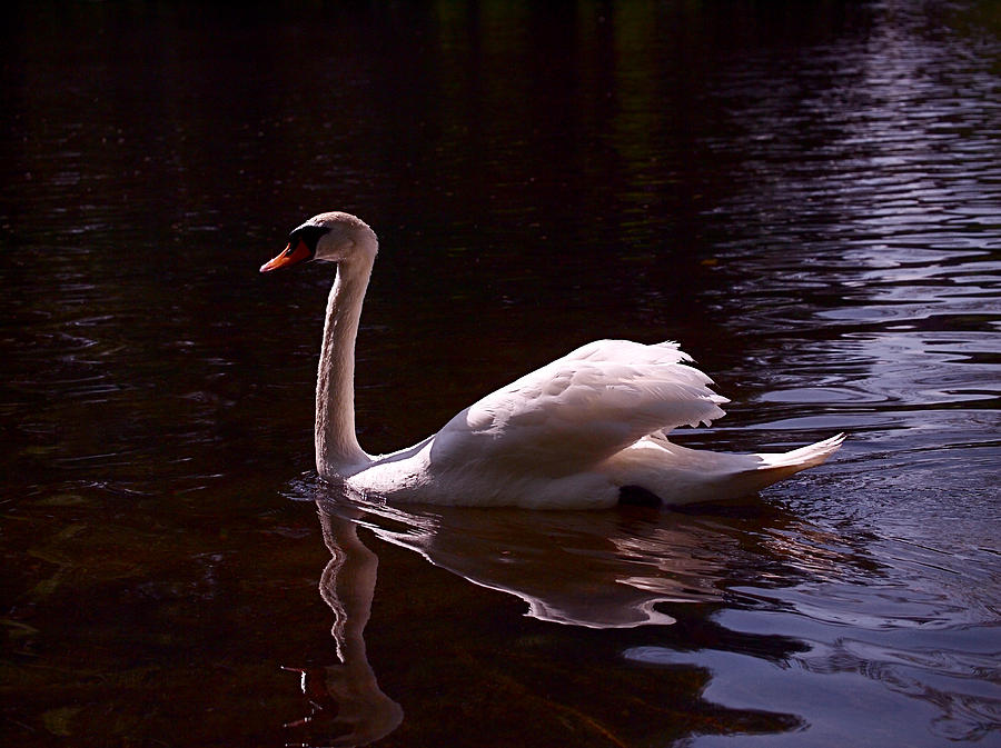 White Swan Photograph - Romeo Or Juliet by Rona Black