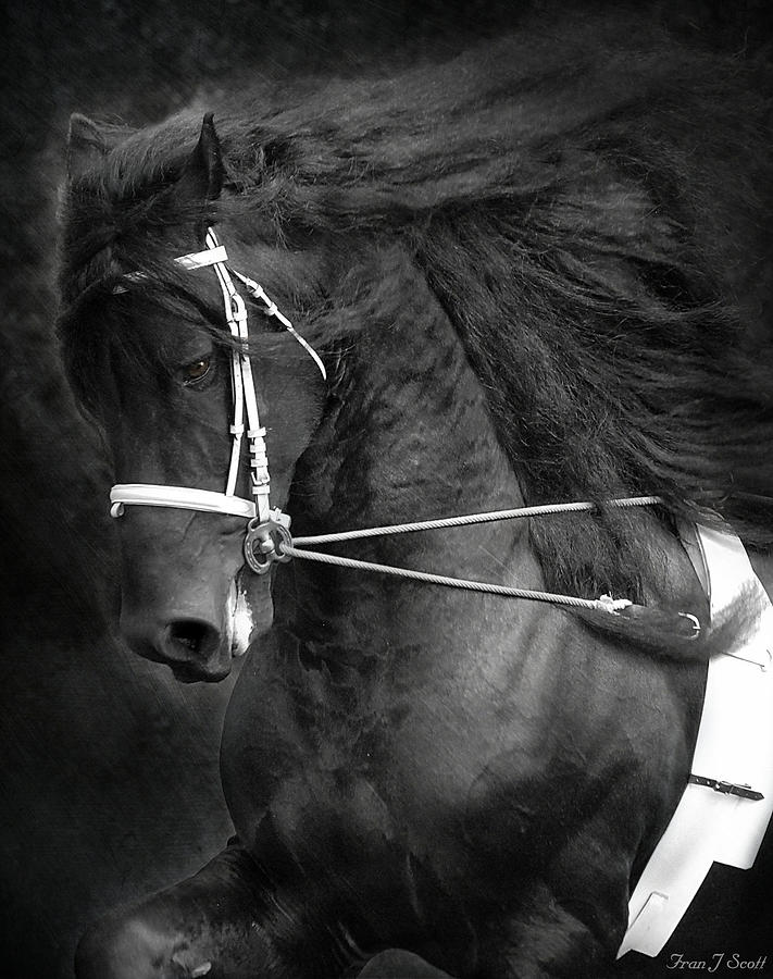 Friesian Photograph - Romke 401 Long Line by Fran J Scott