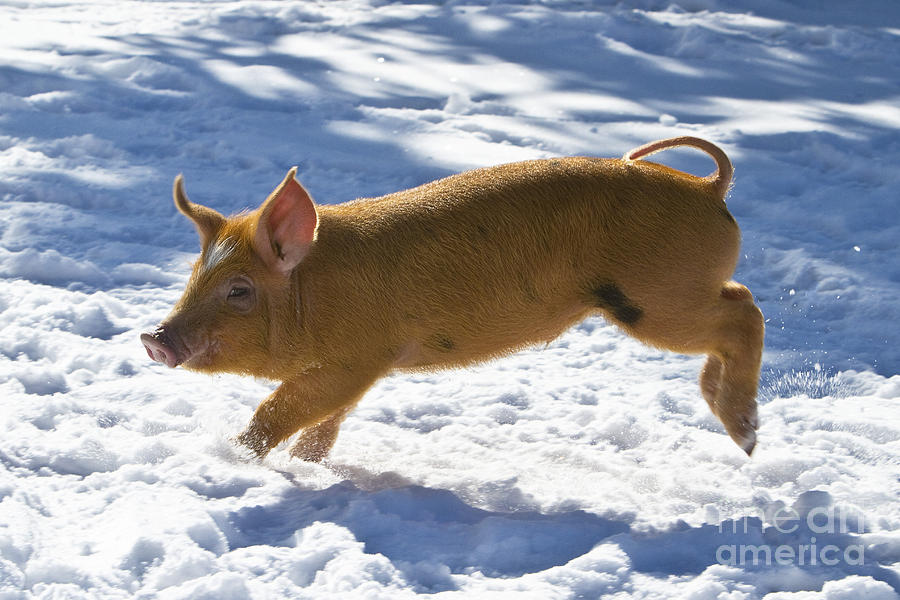 Piglet Photograph - Romping Piglet by Jean-Louis Klein and Marie-Luce Hubert