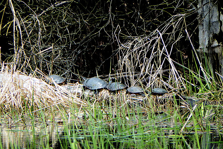 Turtles Photograph - Room For One More by Selma Glunn