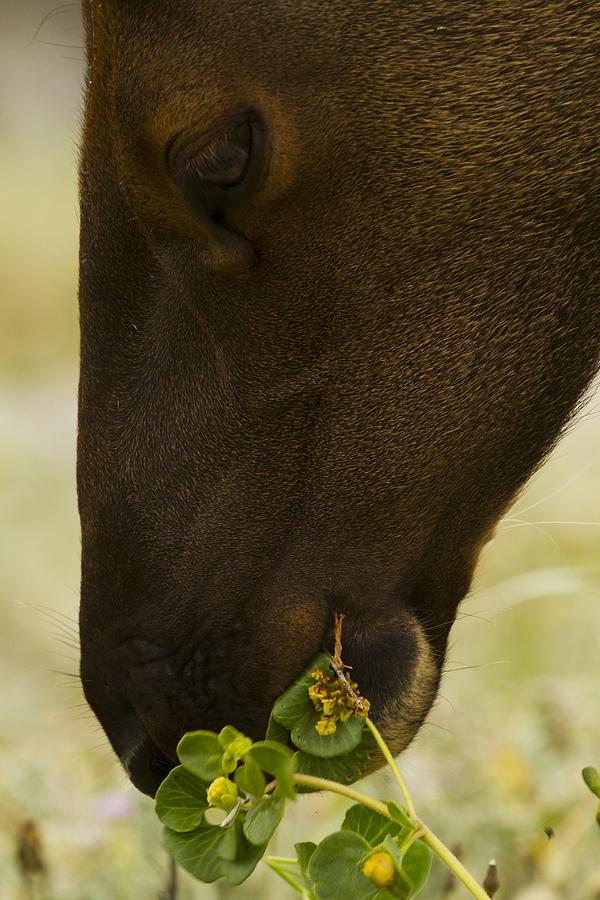 Roosevelt Elk Photograph - Roosevelt Elk Solemnly Feeding On The Beach by Phil Johnston