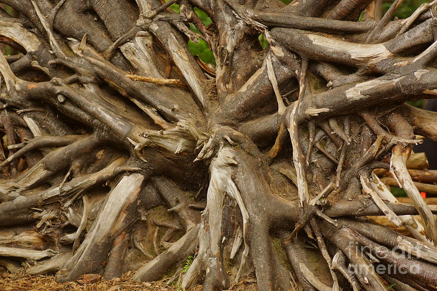 Trees Photograph - Root System by Jeffery L Bowers