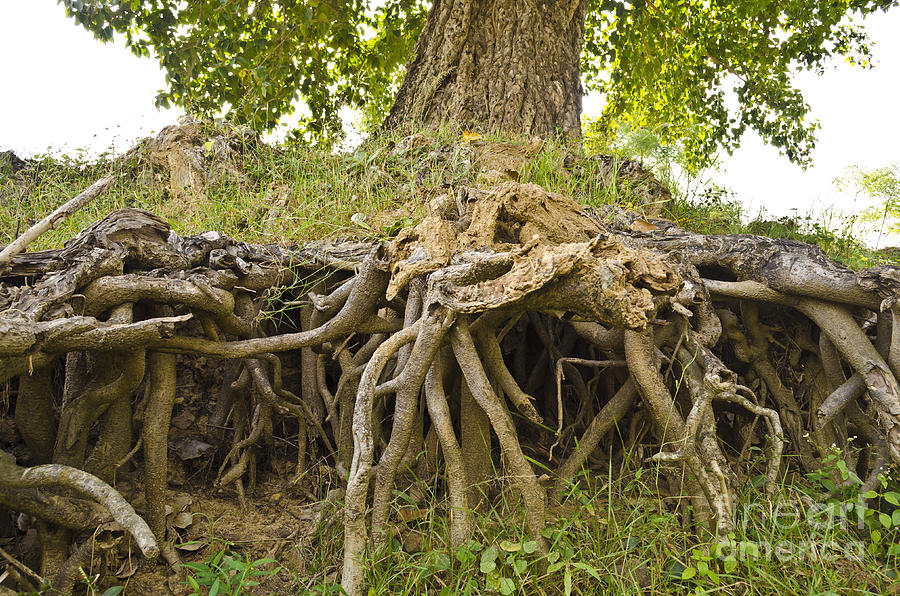 Root System Of Ficus Tree Photograph By Image World