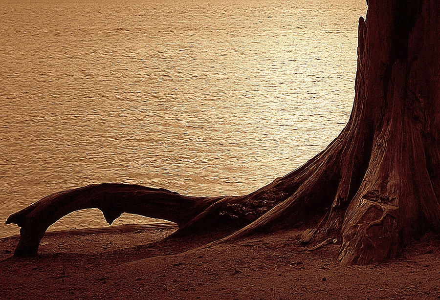 Tree Photograph - Roots by Mim White