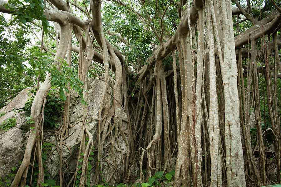 Roots Of Strangler Fig Trees In Jungle by Ippei Naoi