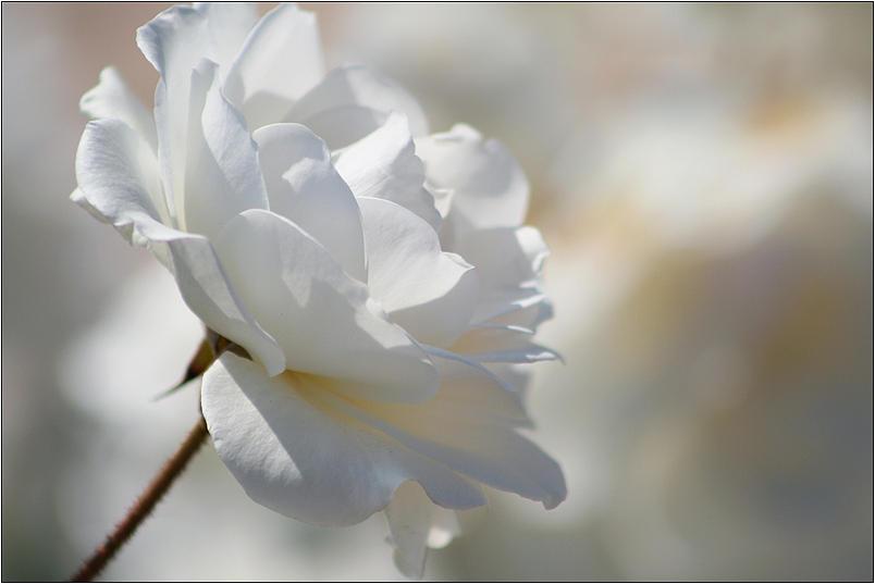 Rosa Blanca Photograph - Rosa Blanca 8 by Mirza Ajanovic