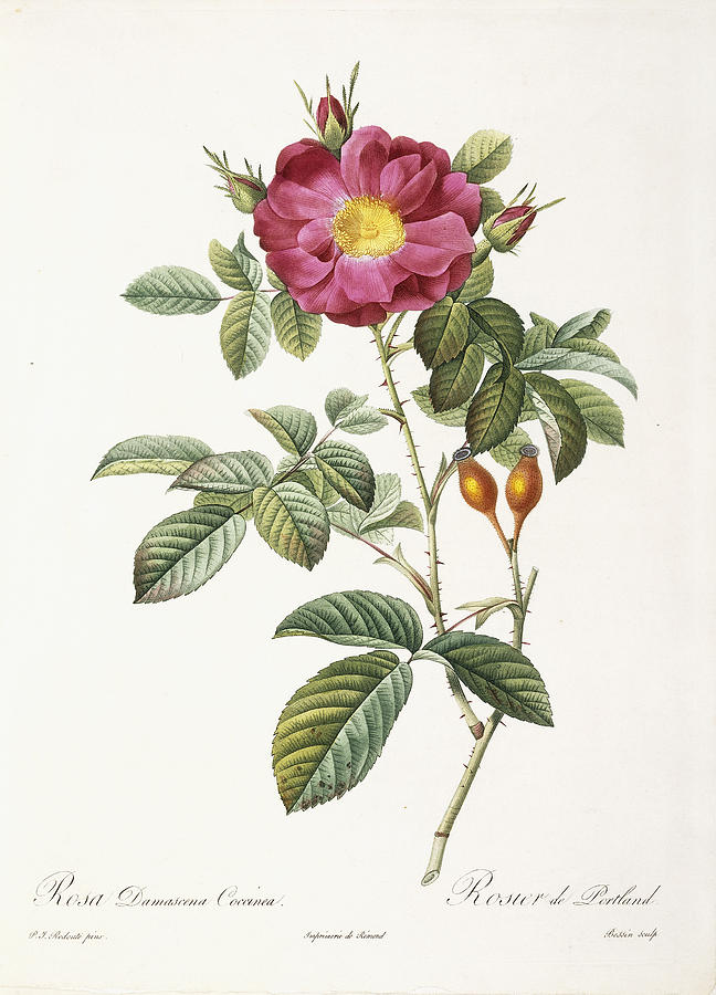 19th Century Painting - Rosa Damascena Coccina by Pierre Joseph Redoute