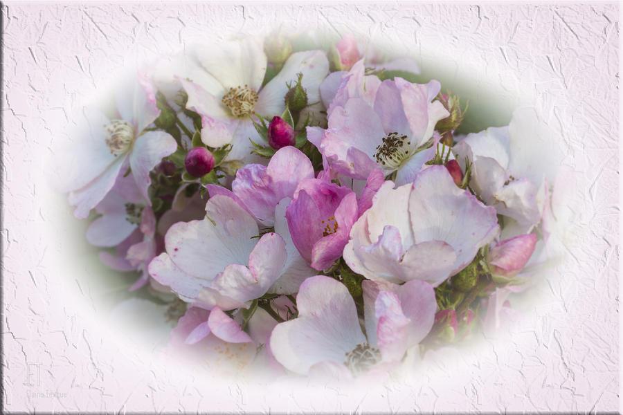 Flowers Photograph - Rosa by Elaine Teague