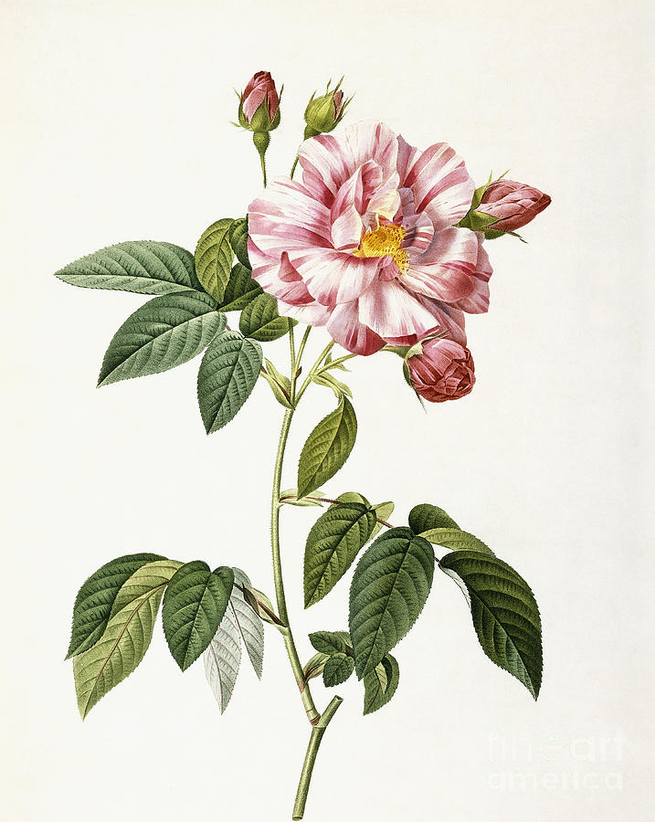 19th Century Painting - Rosa Gallica Versicolor by Pierre Joseph Redoute