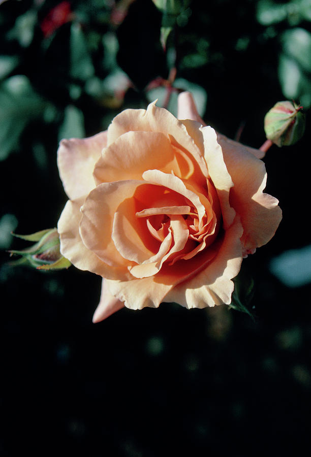 Rose Photograph - Rosa Julias Rose by Mrs W D Monks/science Photo Library