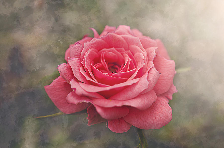 Rose Photograph - Rosalind by Faith Simbeck