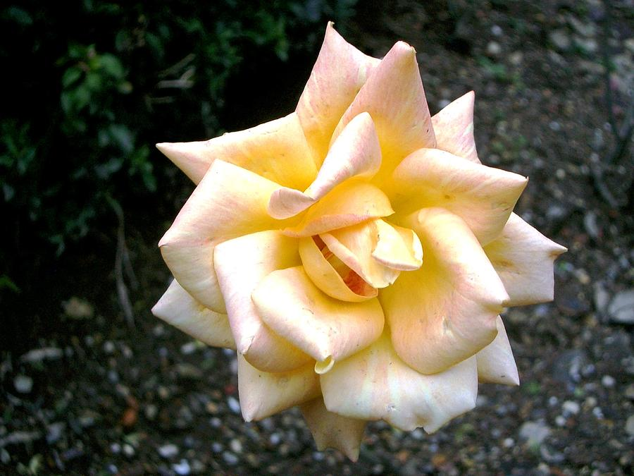 Winter cloister rose  by Jim Barbour