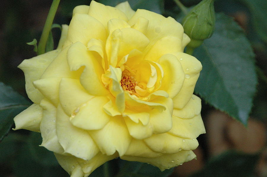 Summer yellow rose by Jim Barbour