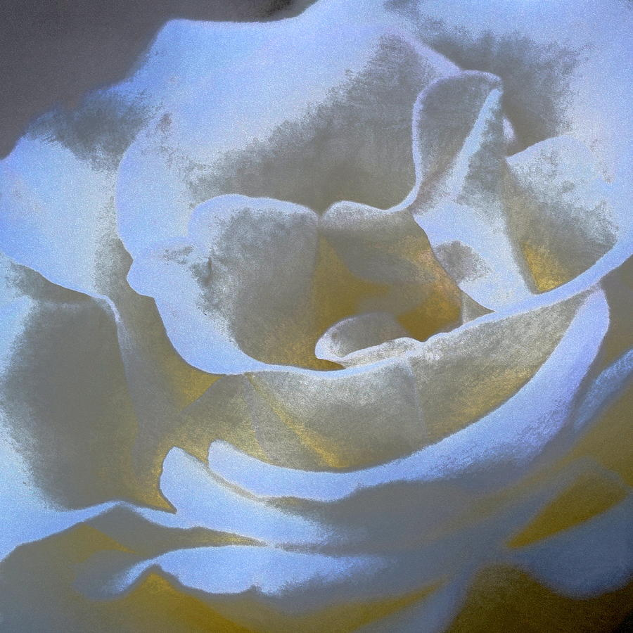 Floral Photograph - Rose 186 by Pamela Cooper