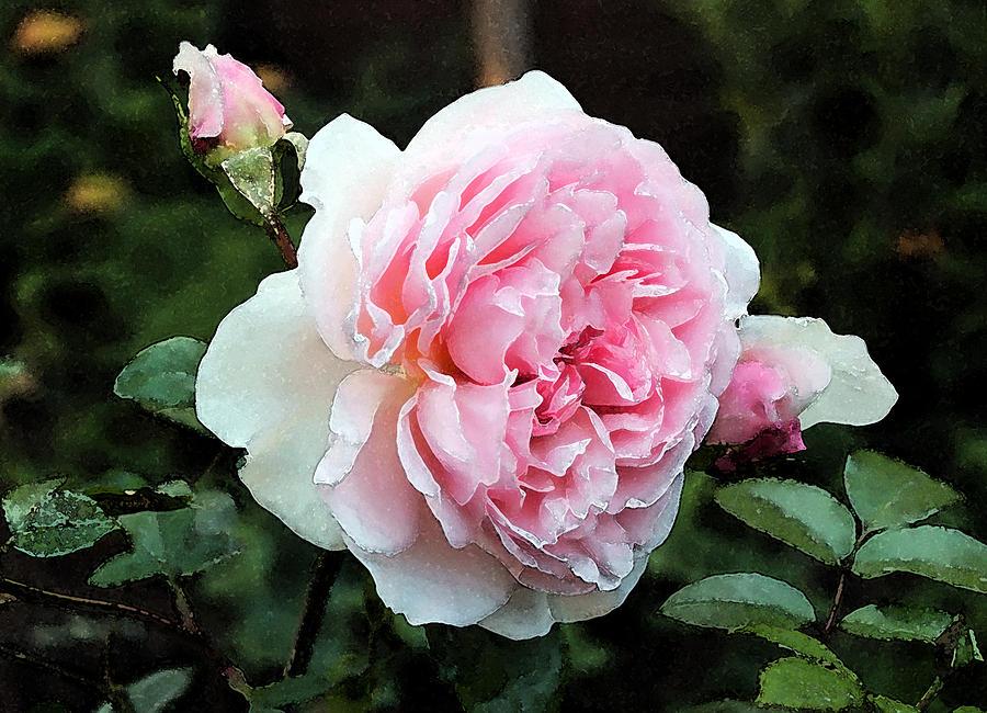 Rose 2 by Helene U Taylor